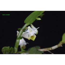 Dendrobium trivervium (FS)
