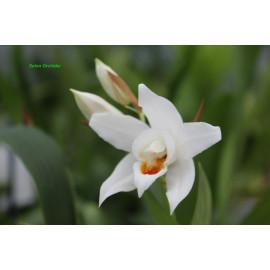 Coelogyne mooreana (FS)
