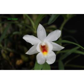 Dendrobium sp. (FS)