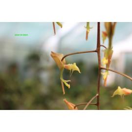 Gongora aromatica (FS)