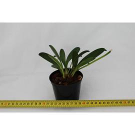 Masdevallia maculata (FS)