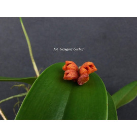 Pleurothallis johnsonii (FS)