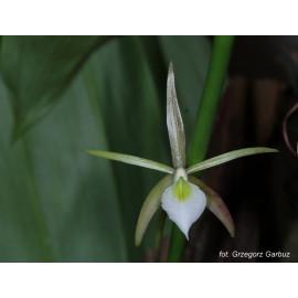 Brassavolla cebolleta (NFS)