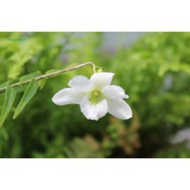 Dendrobium auriculatum (FS)