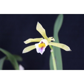 Laelia xanthina (FS)