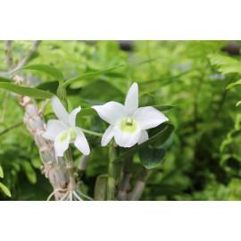 Dendrobium hybride (FS)