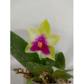 Phalaenopsis bellina x LD...