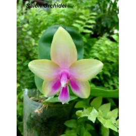 Phalaenopsis Zhehg Min Vin...