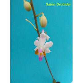 Phalaenopsis pulcherrima...