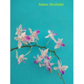 Phalaenopsis lindenii (FS)