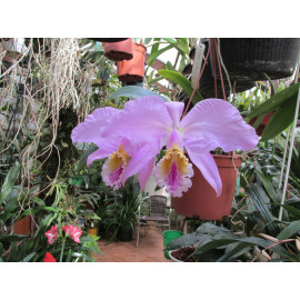 Cattleya mossiae (FS)
