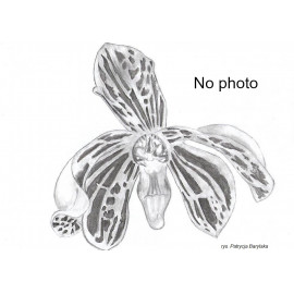 Cattleya porphyroglossa (FS)