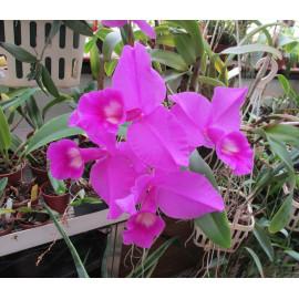 Cattleya skinneri (FS)