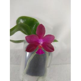 Phalaenopsis Jungho Cherry...