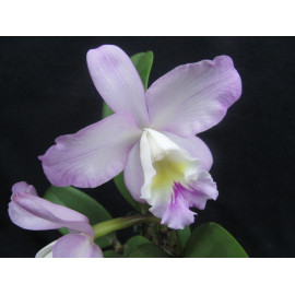 Cattleya Doris and Byron...