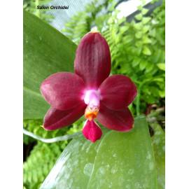 Phalaenopsis Sogo Kaiulani...