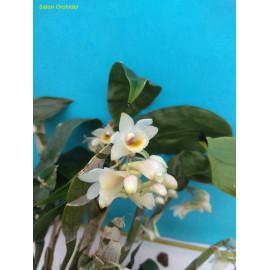 Dendrobium lamellatum (FS)