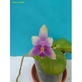 Phalaenopsis violacea Dark...