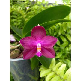 Phalaenopsis (violacea x FS...