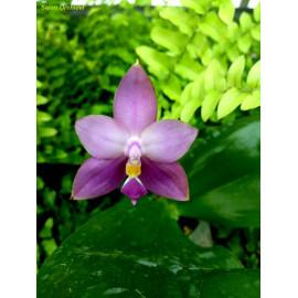 Phalaenopsis Yaphon The...