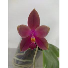 Phalaenopsis Mituo Prince x...