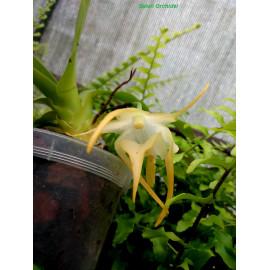 Aeranthes grandiflora (FS)