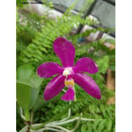 Phalaenopsis pulchra Red (NFS)