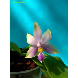 Phalaenopsis violacea Blue...