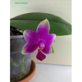 Phalaenopsis Vio Vio Cat...