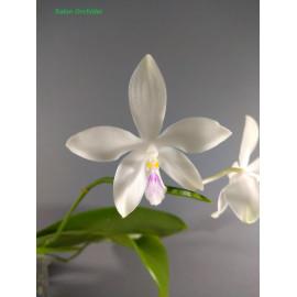 Phalaenopsis (tetraspis x...