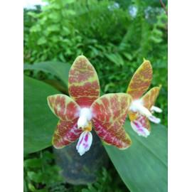 Phalaenopsis Oberhausen...
