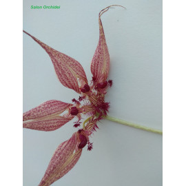 Bulbophyllum...