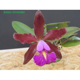 Cattleya Quinquecolor x...