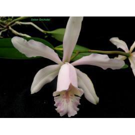 Cattleya x dolosa (FS)