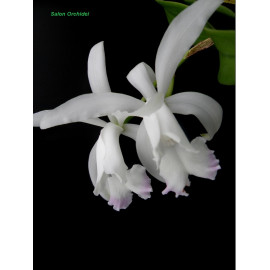 Cattleya intermedia var....