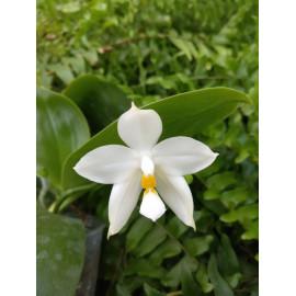 Phalaenopsis Penang...