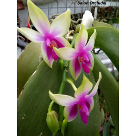 Phalaenopsis bellina (NFS)