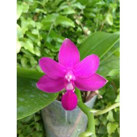Phalaenopsis Sapphires...