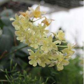 Dendrobium polysema x...