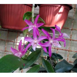Dendrobium hybr. (FS)