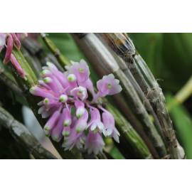 Dendrobium purpureum x...