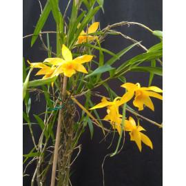 Dendrobium hancockii (FS)