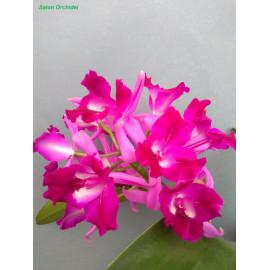 Ctt. Tristar Bouquet (FS)