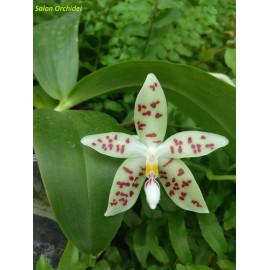 Phalaenopsis zebrina...