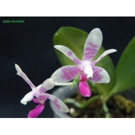 Phalaenopsis modesta (NFS)
