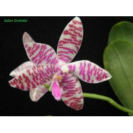 Phalaenopsis lueddemanniana...
