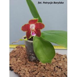Phalaenopsis venosa Red (FS)