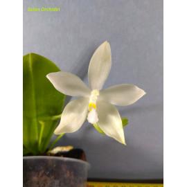Phalaenopsis tetraspis var....