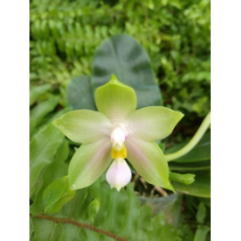Phalaenopsis violacea alba...