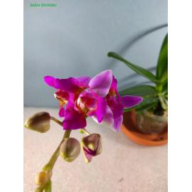 Phalaenopsis Liu's Bright...